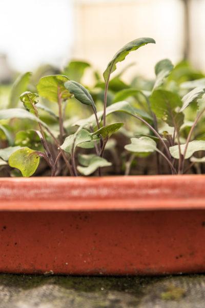 Jungpflanzen im Gewächshaus