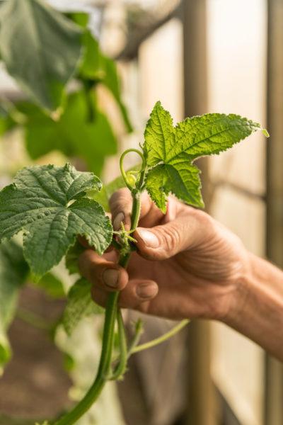 Ausreizen der Pflanzen