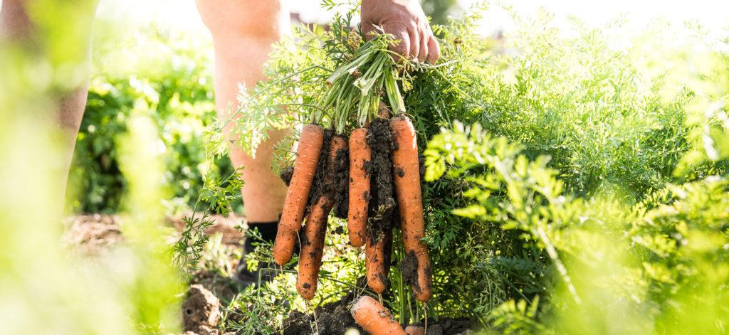 Martina Urban erntet Karotten auf dem Feld