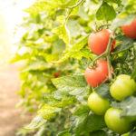 Tomatensträucher im Gewächshaus